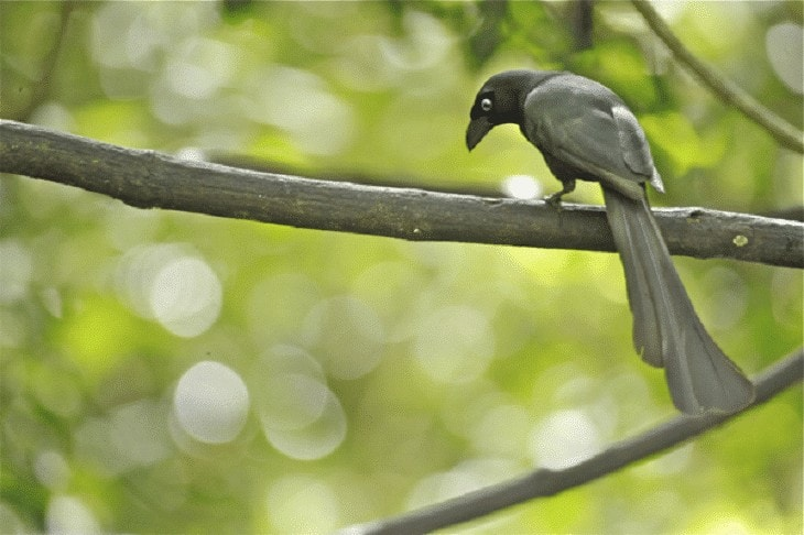 Ciri Ciri Burung Tangkar Cetrong