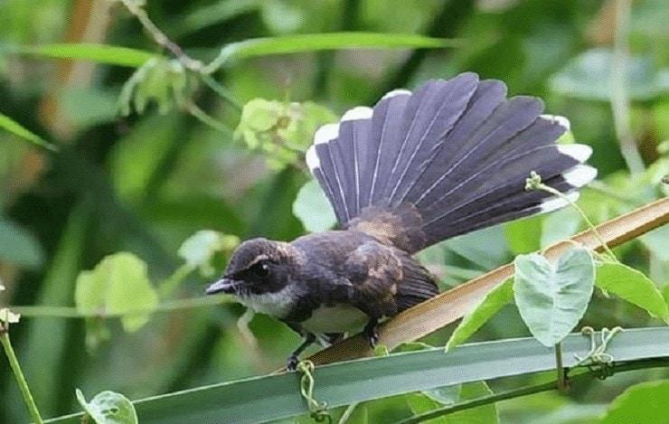 Ciri Fisik Burung Kipasan Londo
