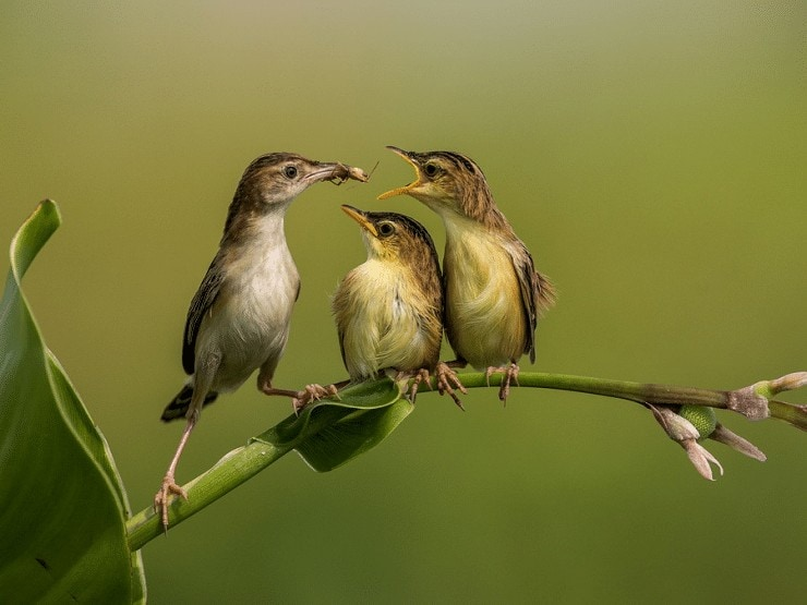 Ciri Khas Burung Cici Padi