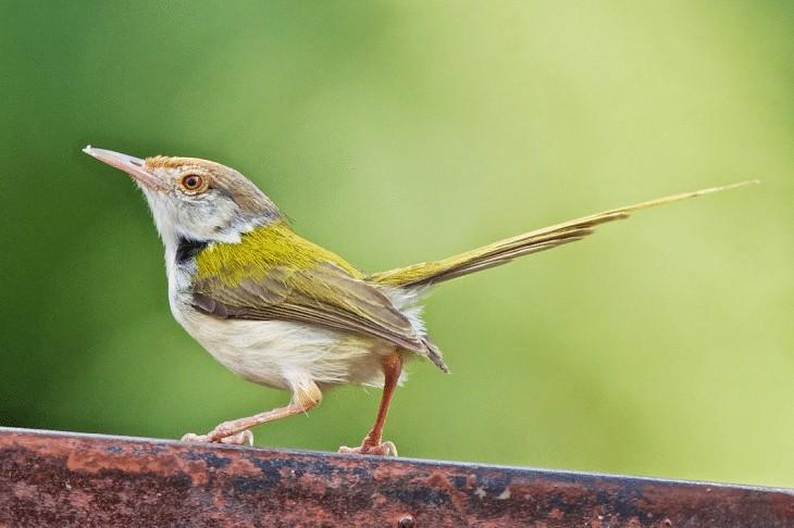 Ciri Khas Burung Cinenen Pisang