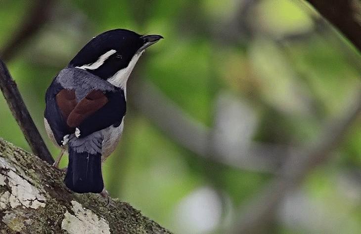 Ciri Khas Burung Ciu Besar