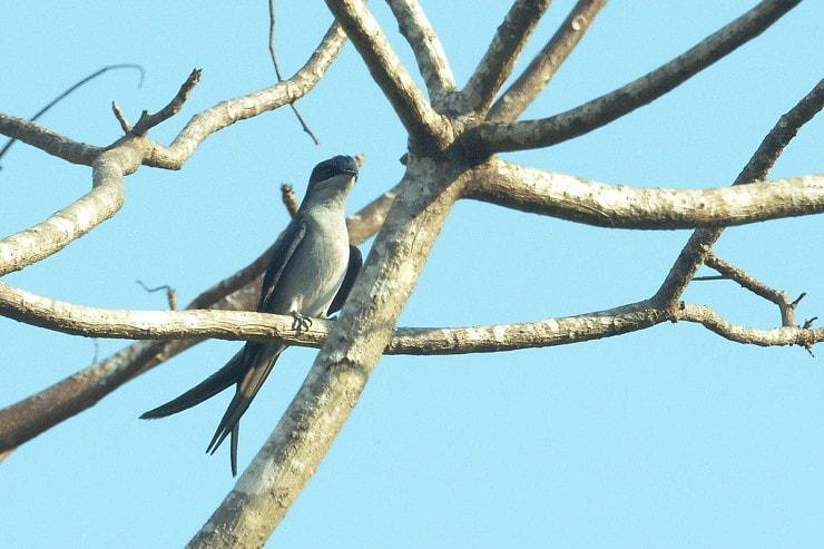 Ciri Khas Burung Tepekong Jambul