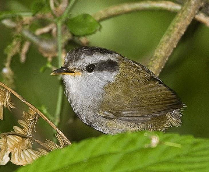 Ciri Khas Burung Tesia Jawa