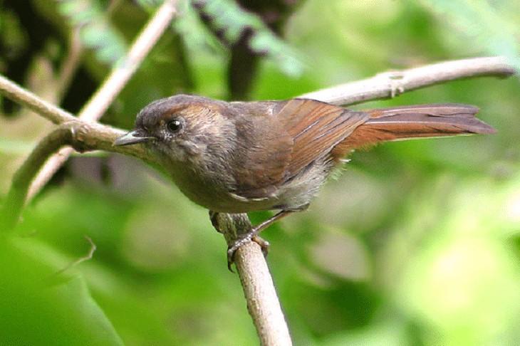 Ciri Khas Burung Wergan Jawa