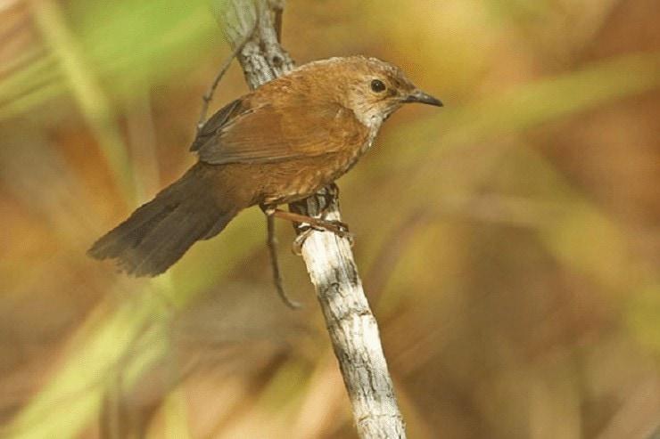 Daerah Persebaran Burung Ceret Gunung