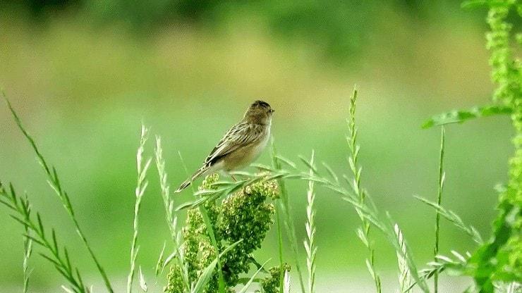 Daerah Persebaran Burung Cici Padi