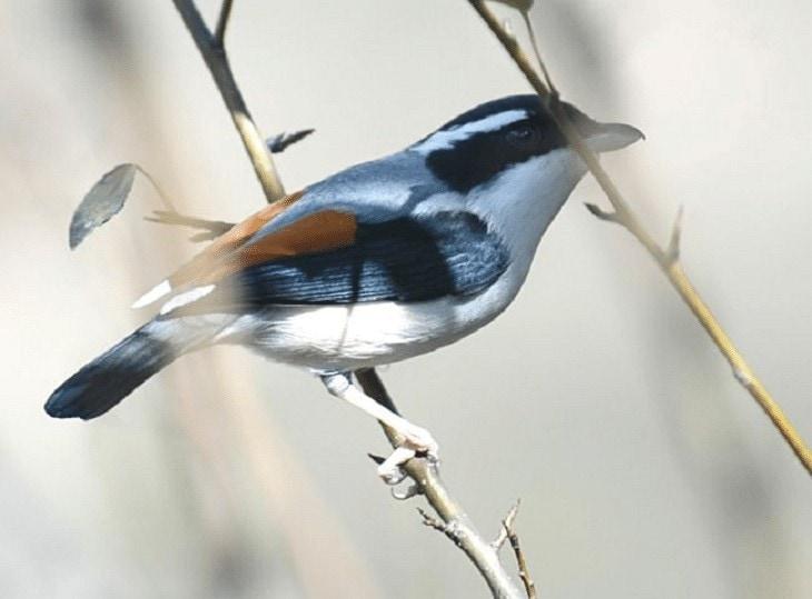Daerah Persebaran Burung Ciu Besar