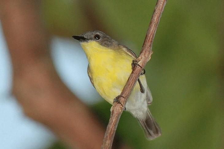 Daerah Persebaran Burung Remetuk Laut
