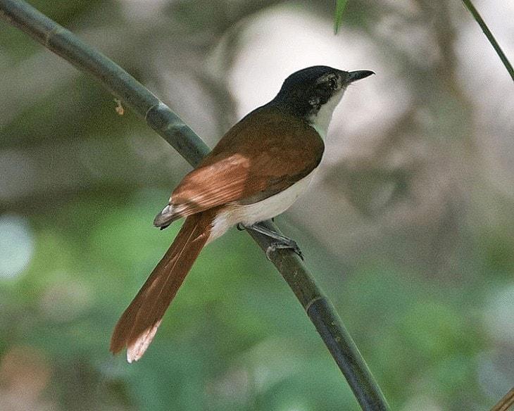 Daerah Persebaran dan Habitat Burung Sikatan Kilap