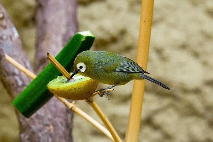 Doping Untuk Burung Pleci