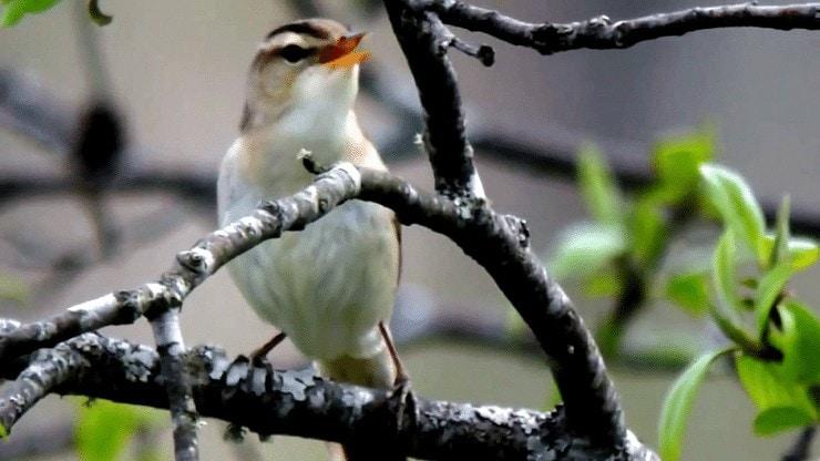 Habitat Burung Kerakbasi Alis Hitam