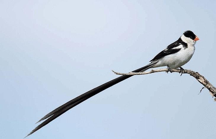 Habitat Burung Pintailed whydah