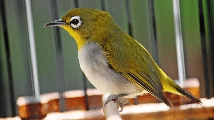 Habitat Burung Pleci Montanus