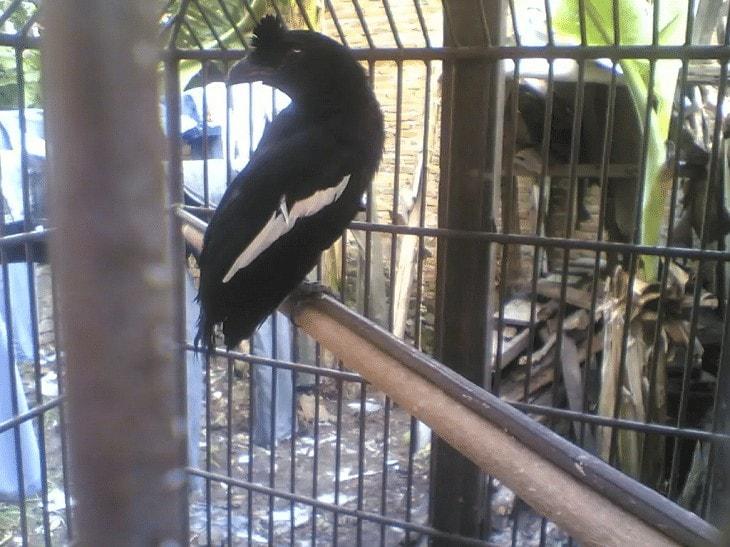 Habitat dan daerah Persebaran Burung Tangkar Kambing