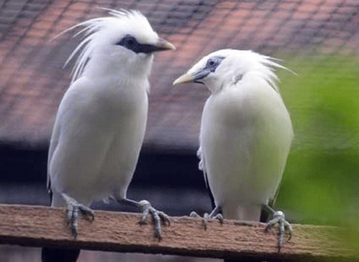 Indukan Burung Jalak Bali