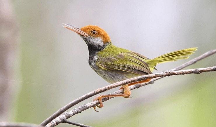 Jenis Burung Cinenen