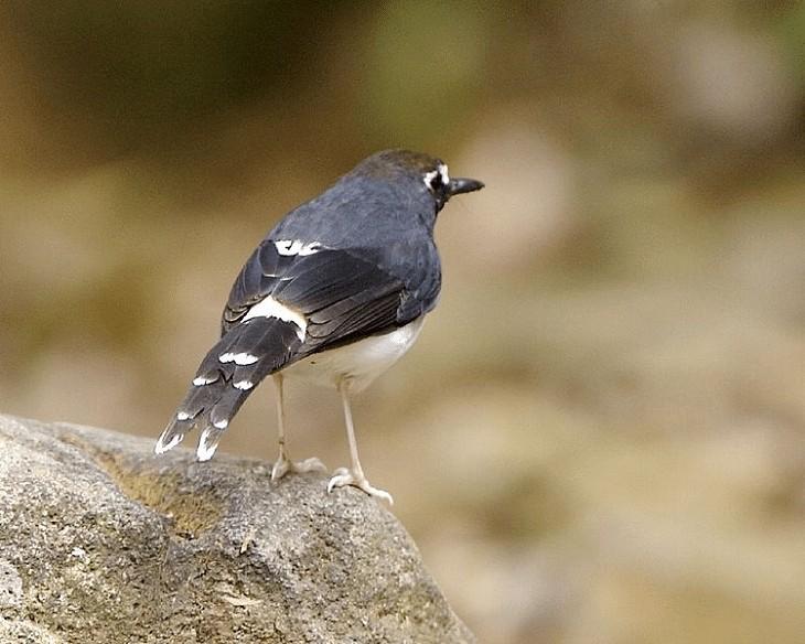Jenis Burung Meninting