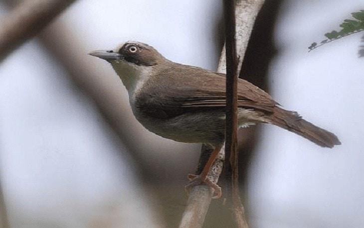 Jenis Burung Opior
