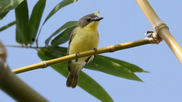 Jenis Burung Remetuk