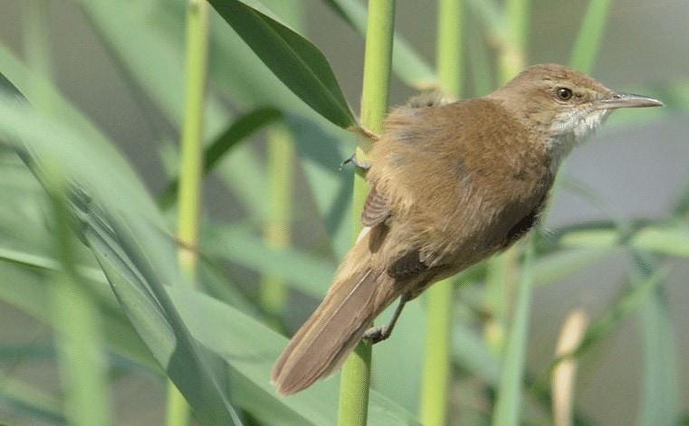 Karakteristik Burung Kerakbasi Ramai