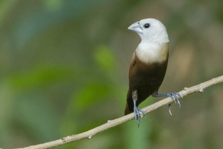 Keistimewaan Burung Emprit Jepang