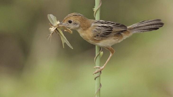 Makanan Burung Cici Merah