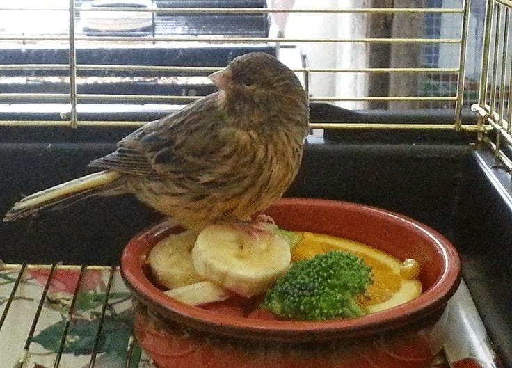 Makanan Tambahan Burung Kenari Pasca Mabung