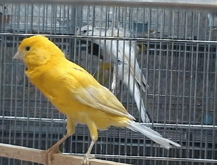 Mengatasi Burung Kenari Murung