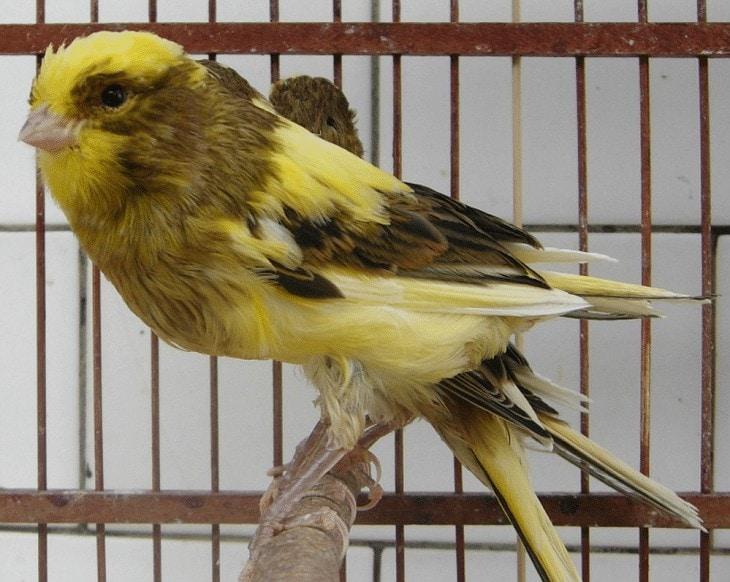 Burung Kenari Yorkshire Lokal