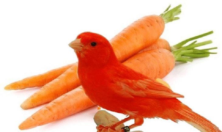 Pakan Alami Burung Kenari Merah