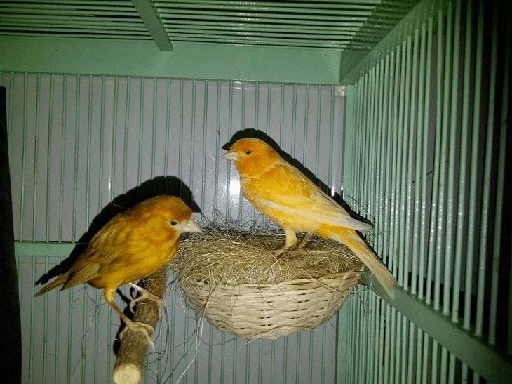 Penjodohan Burung Kenari Yorkshire