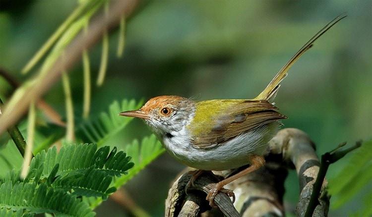 Perilaku Burung Cinenen Pisang Di Alam Liar