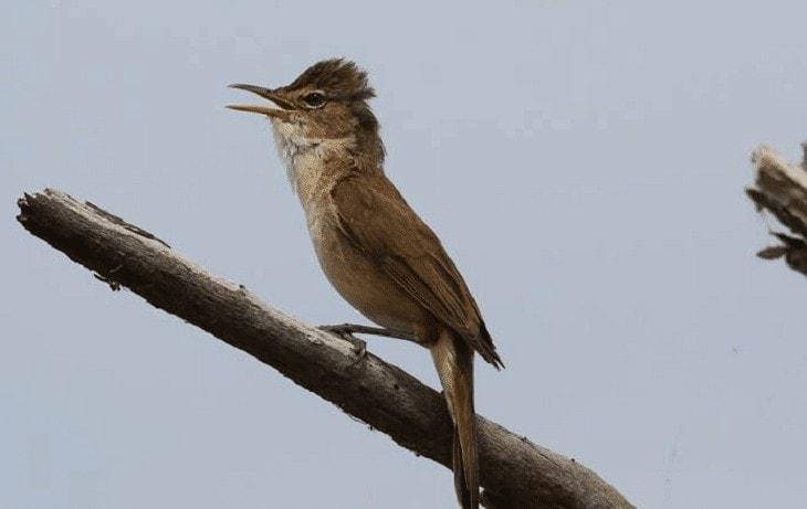 Perilaku Burung Kerakbasi Ramai
