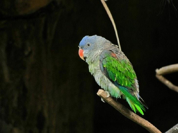 Perilaku Burung Nuri Tanau