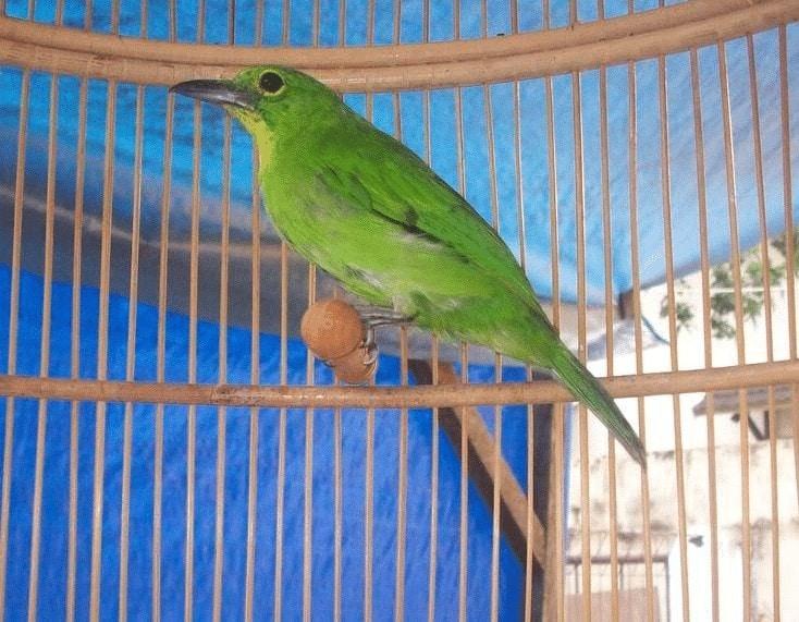 Racikan Pakan Burung Cucak Ijo