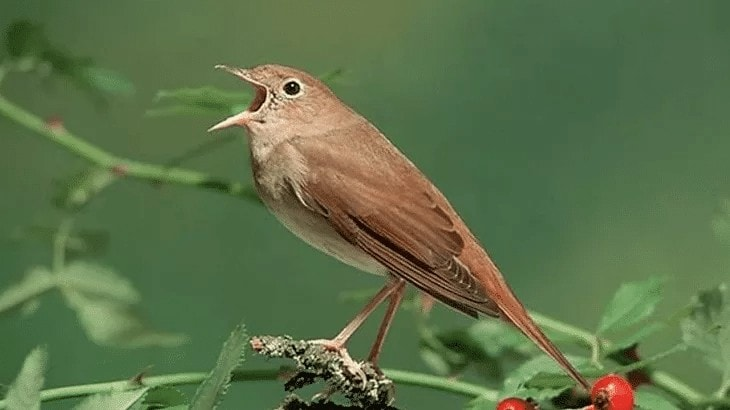 Suara Burung Nightingale
