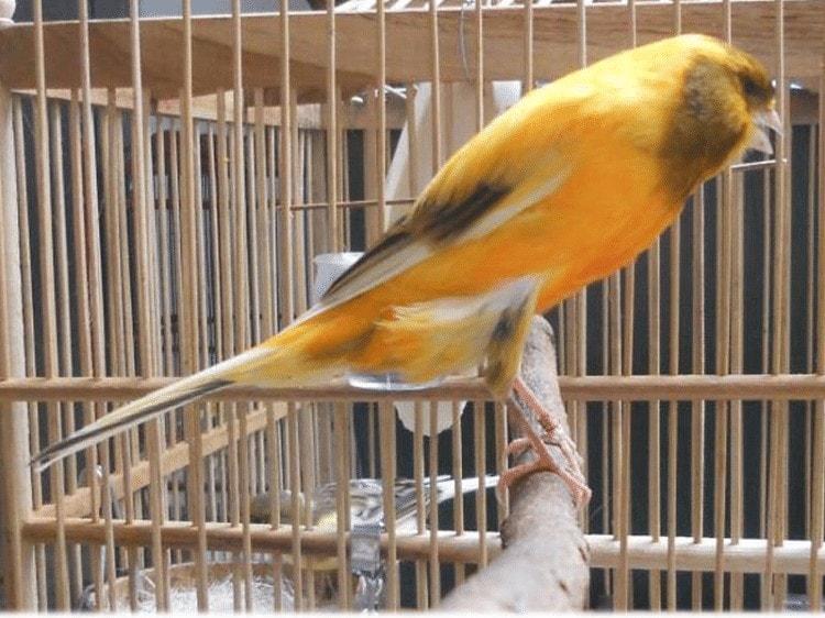 Burung Kenari Suka Buka paruh Lebar