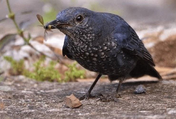 Burung Murai Batu Arung