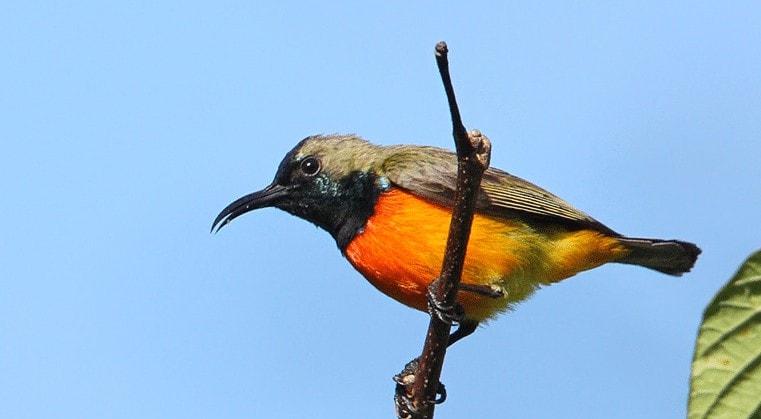Burung Madu Sumba