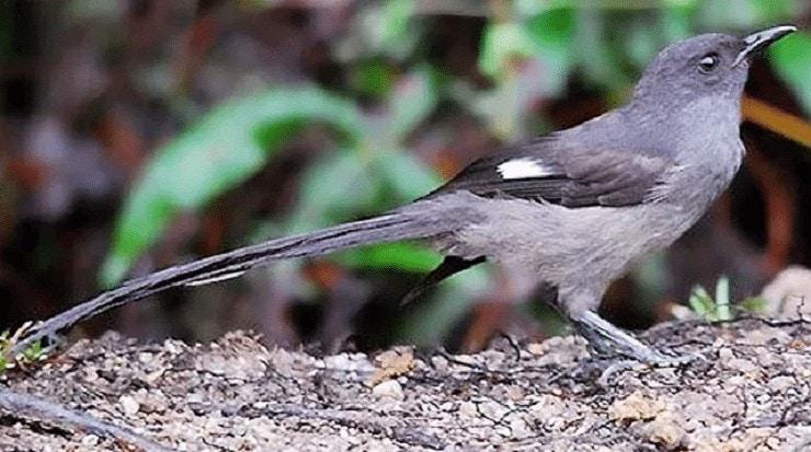 Burung Murai Air