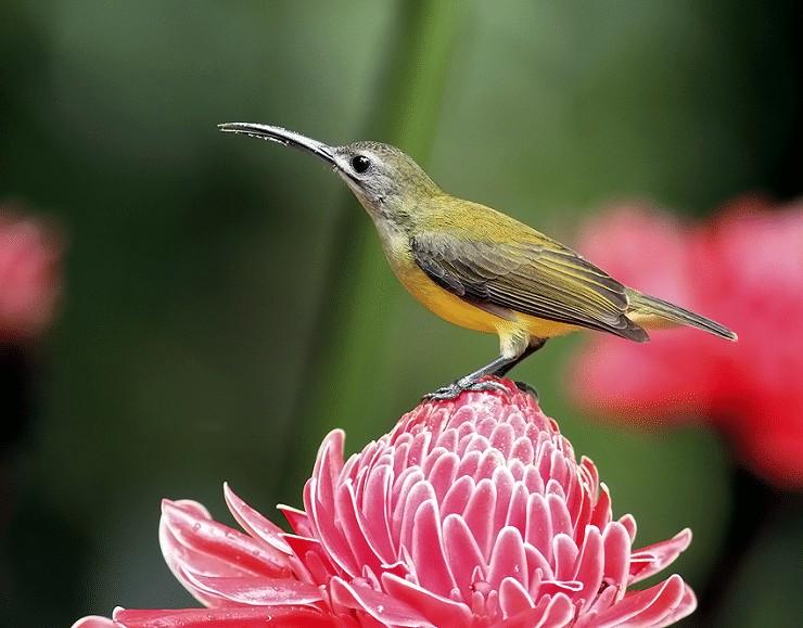 Burung Pijantung Kecil