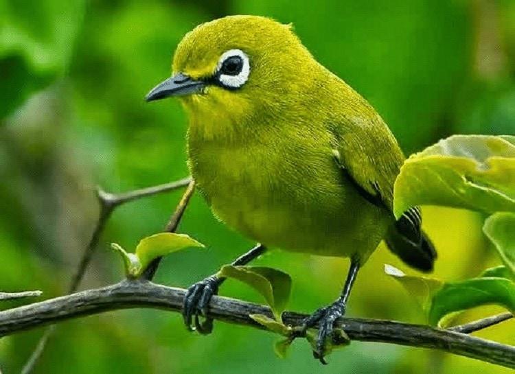 Burung Pleci Dakun Bali