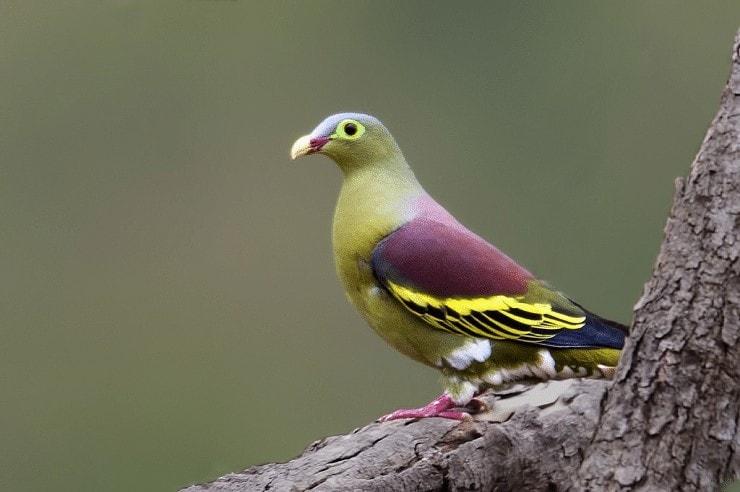 Burung Punai Lenguak