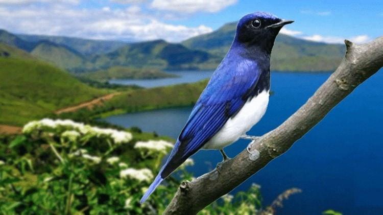 Burung Sikatan Biru Putih