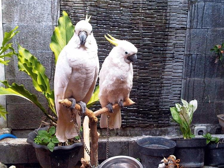 Cara Menjinakkan Burung Kakaktua Jambul Kuning