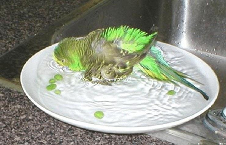 Cara Sederhana Memandikan Burung Parkit