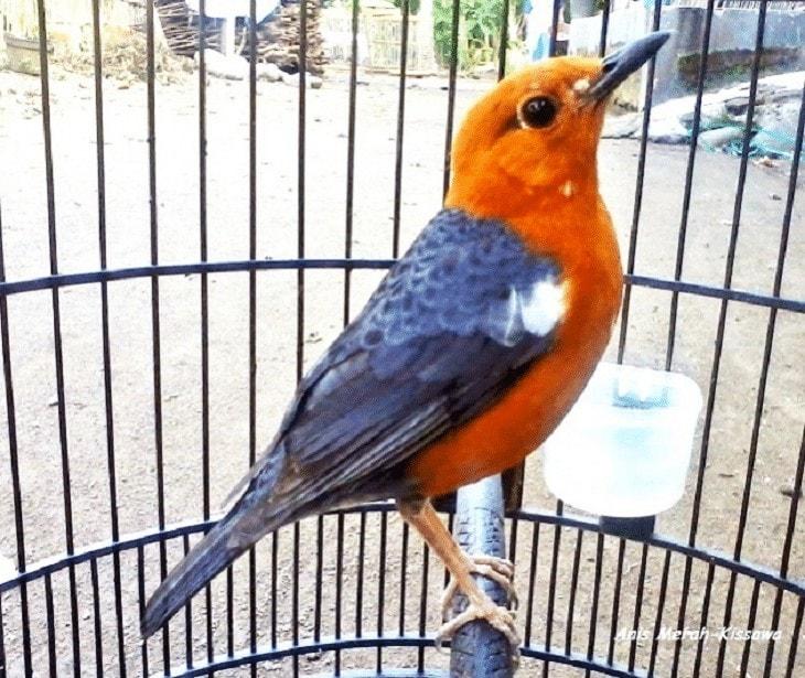 Ciri-Ciri Burung Anis Merah Ngedrop