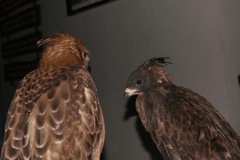 Ciri - Ciri Burung Sikep Madu Asia