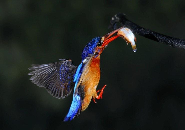 Ciri Fisik Burung Raja Udang Meninting