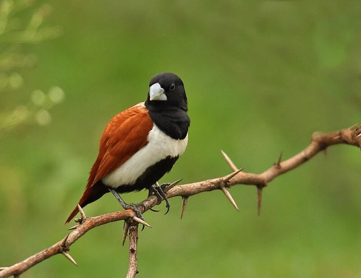 Ciri Khas Burung Bondol Rawa